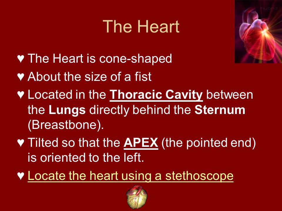 The Heart The Heart is cone-shaped About the size of a fist