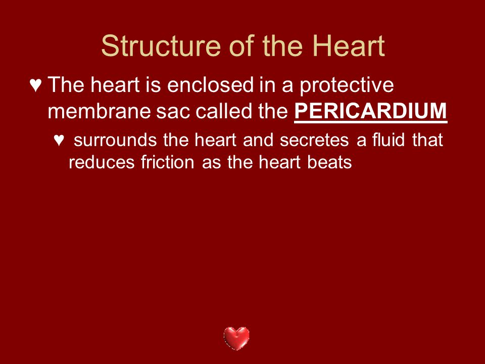 Structure of the Heart The heart is enclosed in a protective membrane sac called the PERICARDIUM.