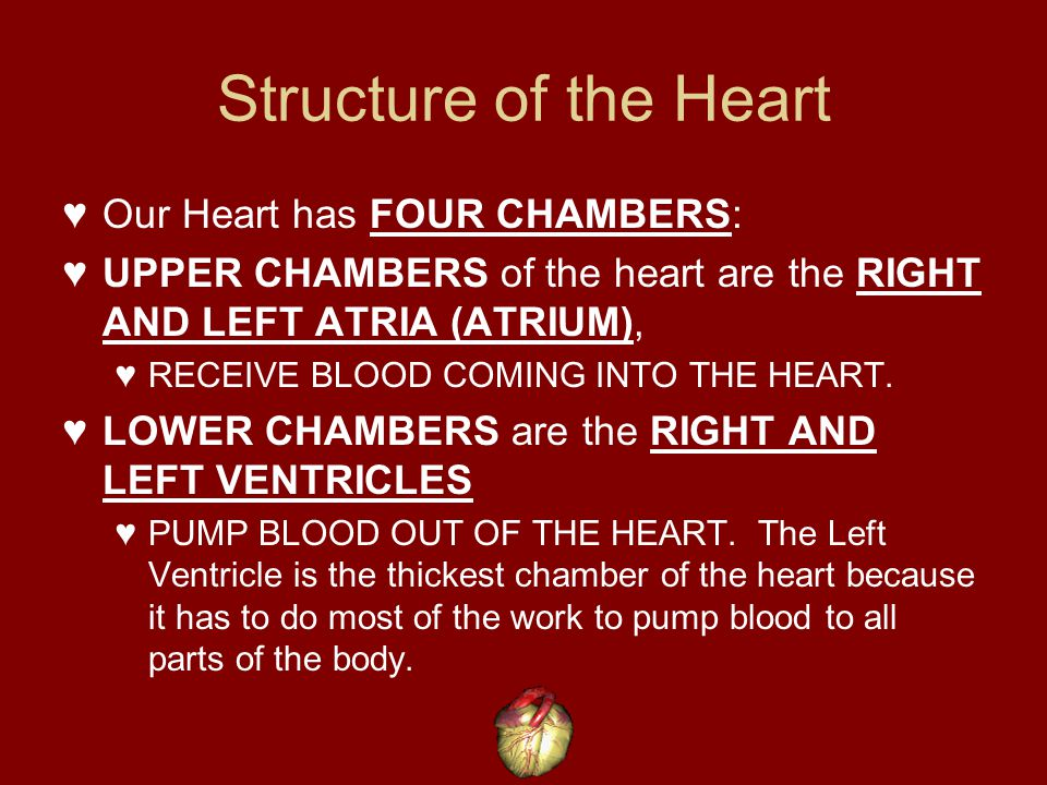 Structure of the Heart Our Heart has FOUR CHAMBERS: