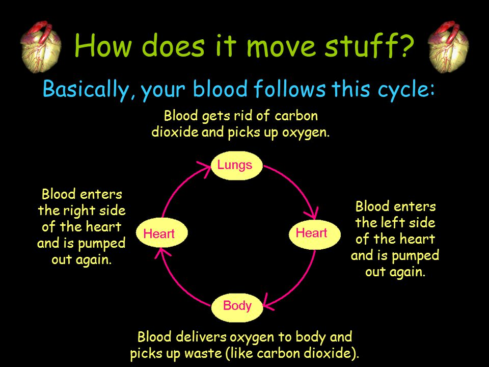 How does it move stuff Basically, your blood follows this cycle: