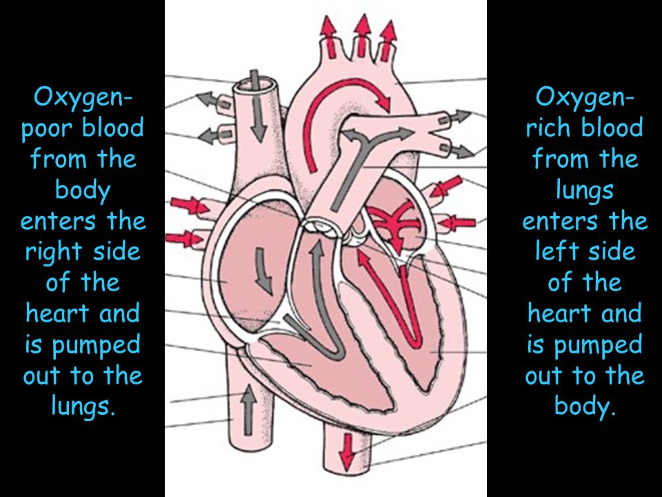 Oxygen-poor blood from the body enters the right side of the heart and is pumped out to the lungs.