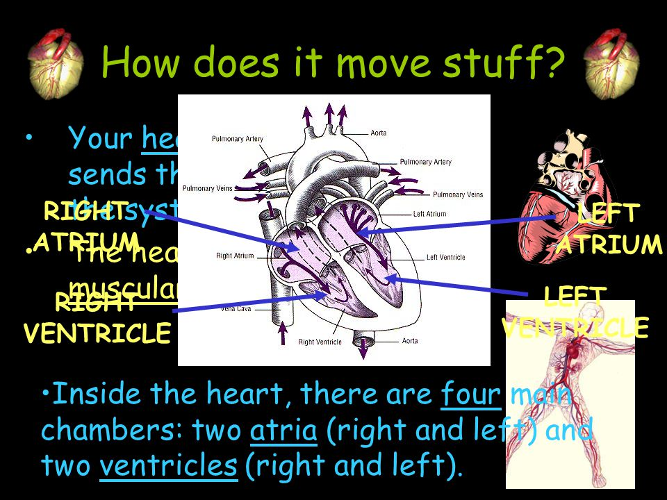 How does it move stuff Your heart is the pump that sends the blood through the system. The heart is a hollow, muscular organ.