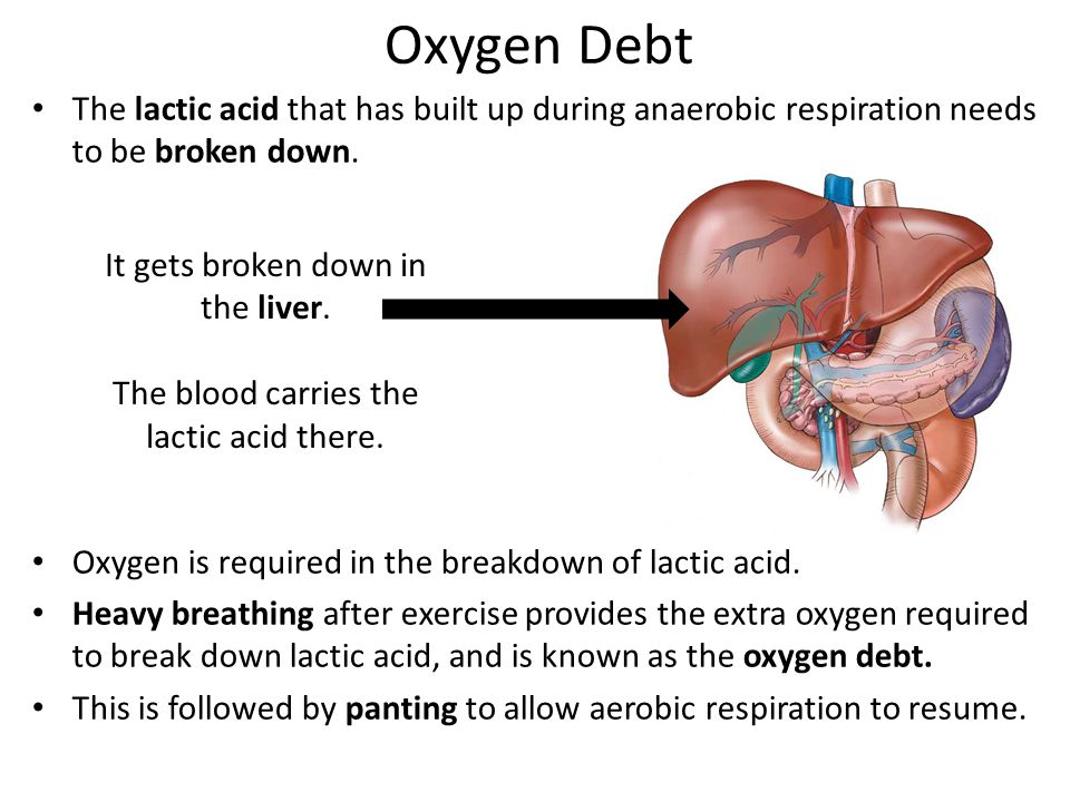 Oxygen Debt The lactic acid that has built up during anaerobic respiration needs to be broken down.