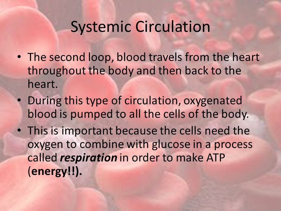 Systemic Circulation The second loop, blood travels from the heart throughout the body and then back to the heart.
