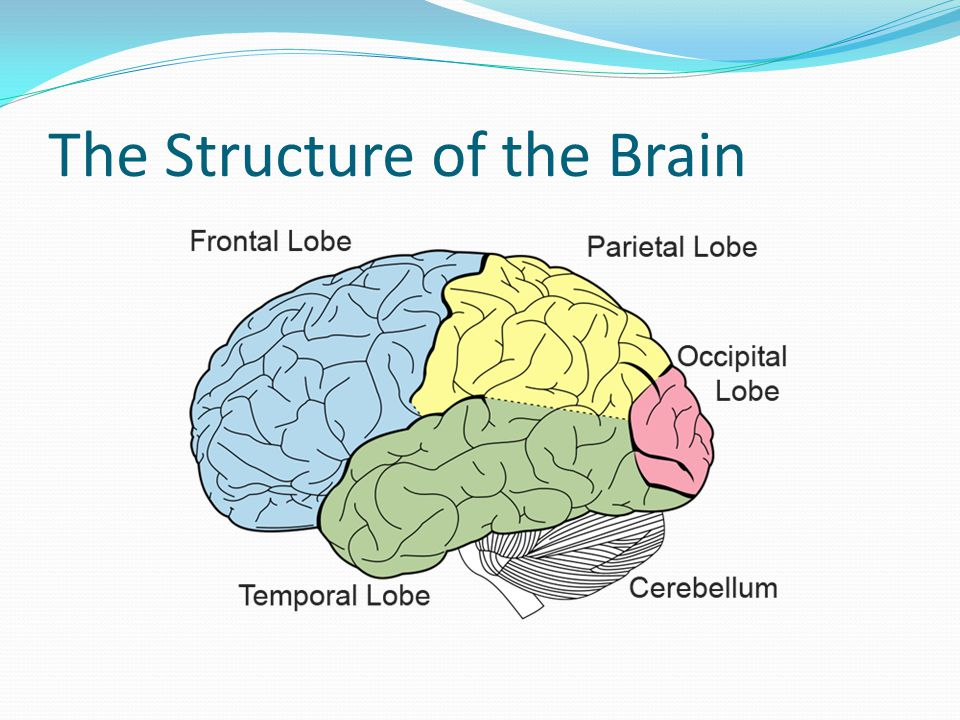 The Structure of the Brain