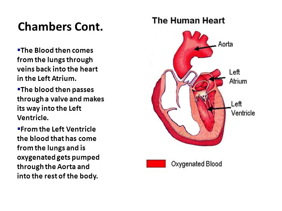 Chambers Cont. The Blood then comes from the lungs through veins back into the heart in the Left Atrium.