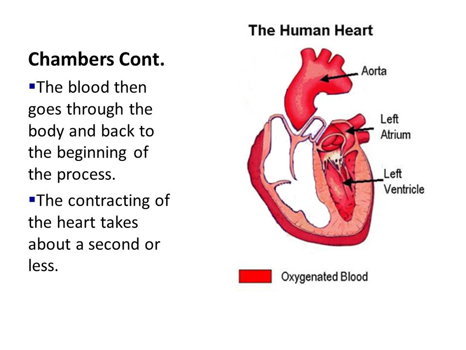 Chambers Cont. The blood then goes through the body and back to the beginning of the process.