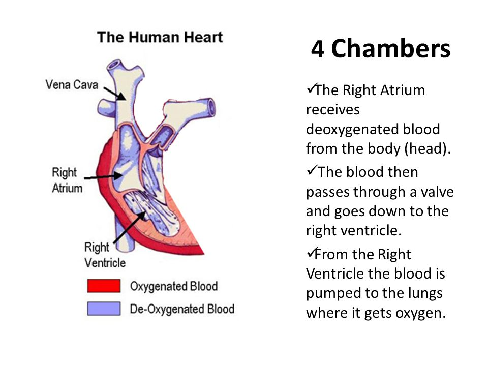 4 Chambers The Right Atrium receives deoxygenated blood from the body (head).