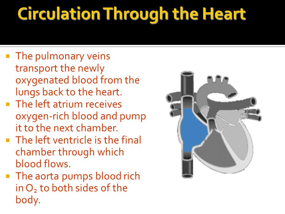 Circulation Through the Heart
