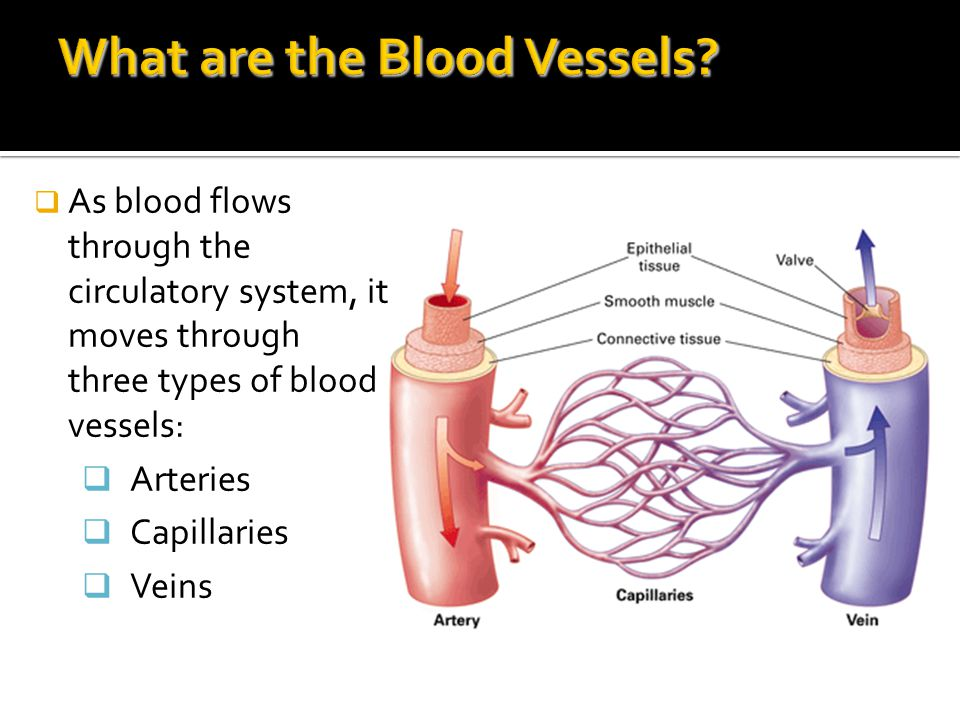 What are the Blood Vessels