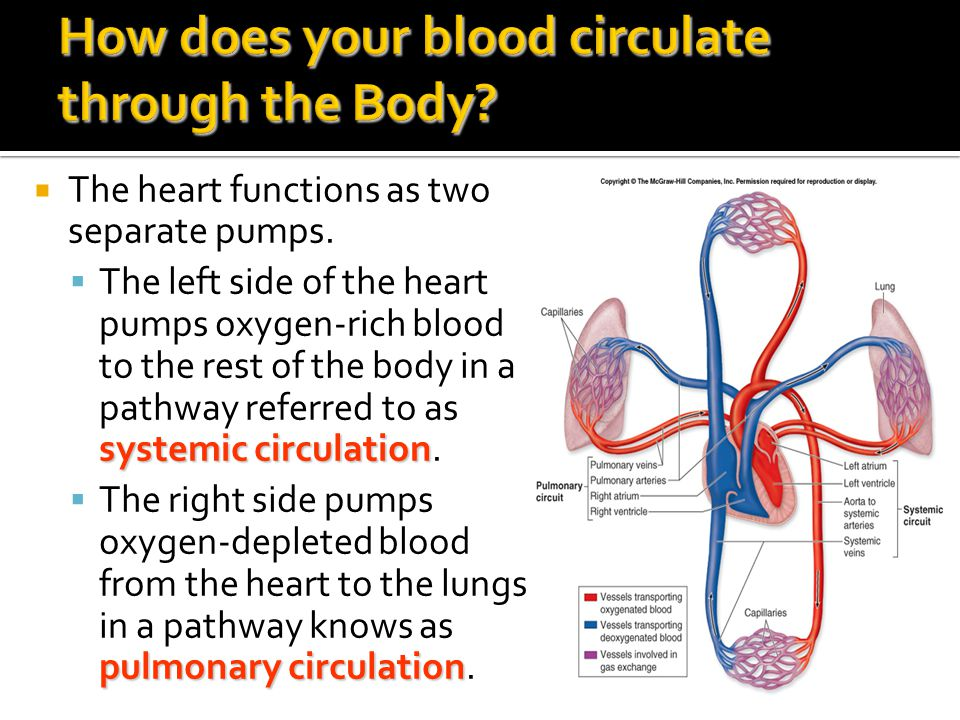 How does your blood circulate through the Body