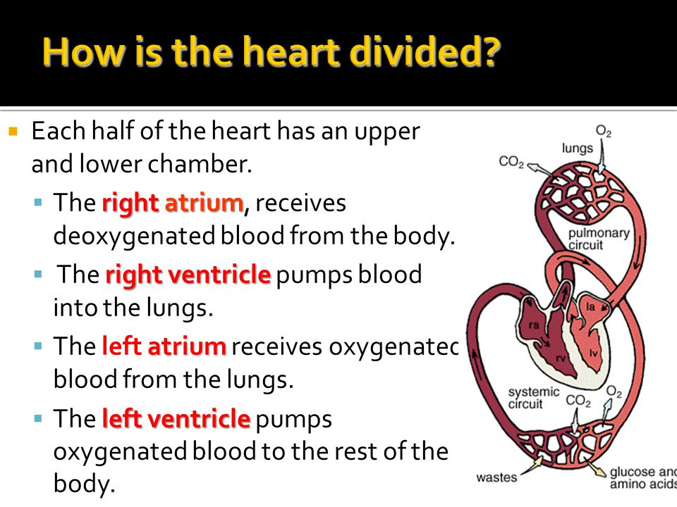How is the heart divided