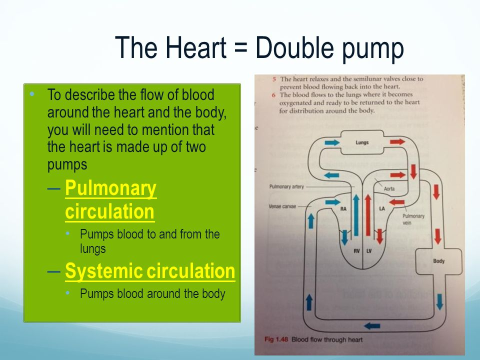 The Heart = Double pump Pulmonary circulation Systemic circulation