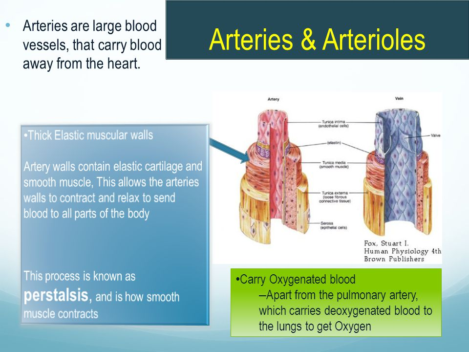 Arteries & Arterioles Arteries are large blood vessels, that carry blood away from the heart. Thick Elastic muscular walls.