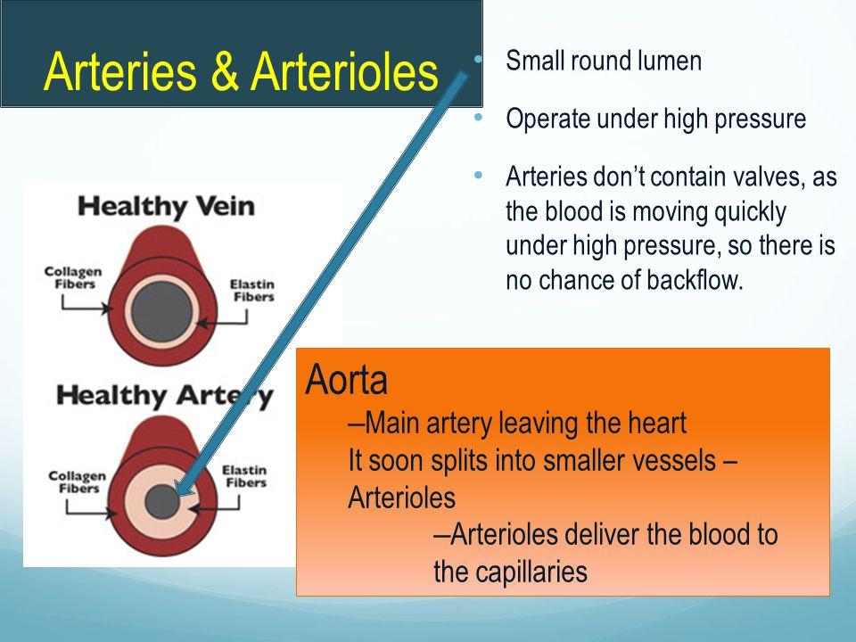 Arteries & Arterioles Aorta Main artery leaving the heart