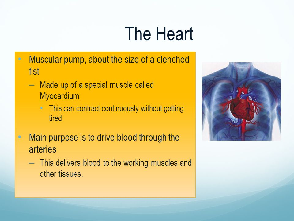 The Heart Muscular pump, about the size of a clenched fist