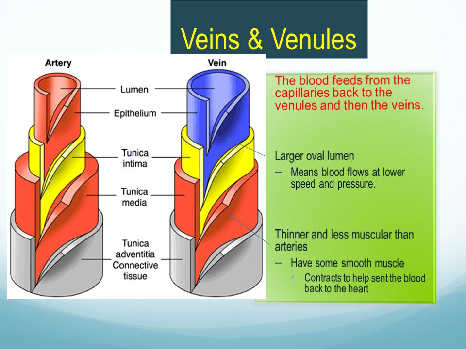 Veins & Venules The blood feeds from the capillaries back to the venules and then the veins. Larger oval lumen.