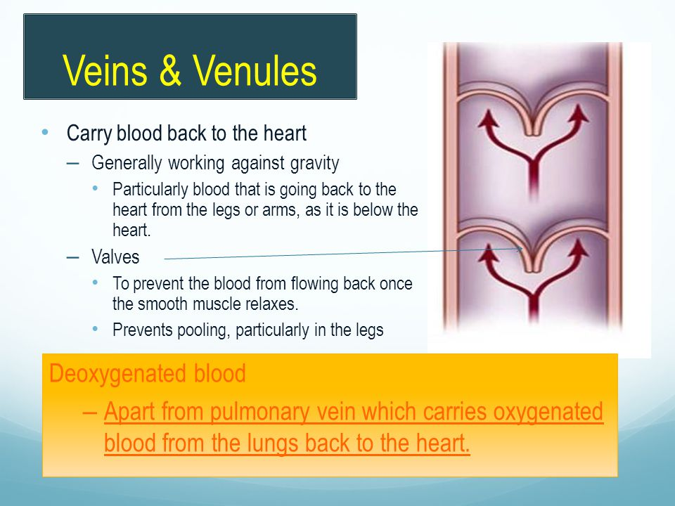 Veins & Venules Deoxygenated blood