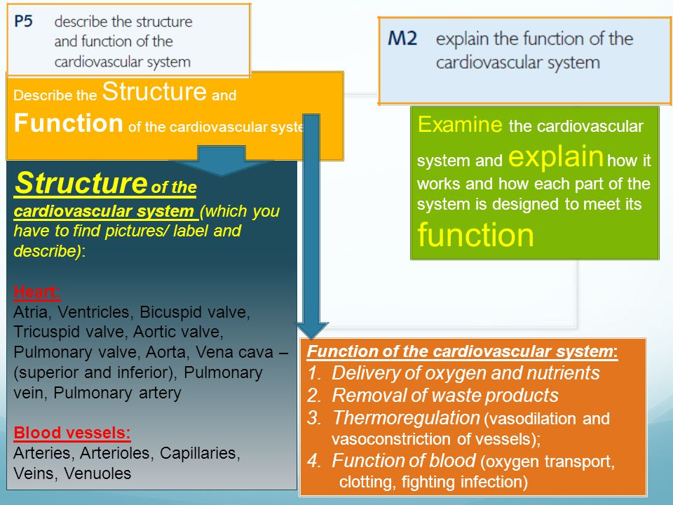 Describe the Structure and Function of the cardiovascular system