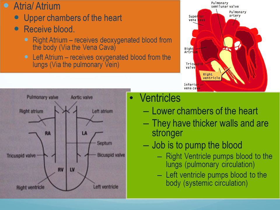 Ventricles Atria/ Atrium Lower chambers of the heart