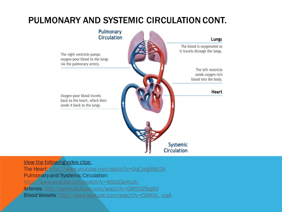 Pulmonary and systemic circulation cont.