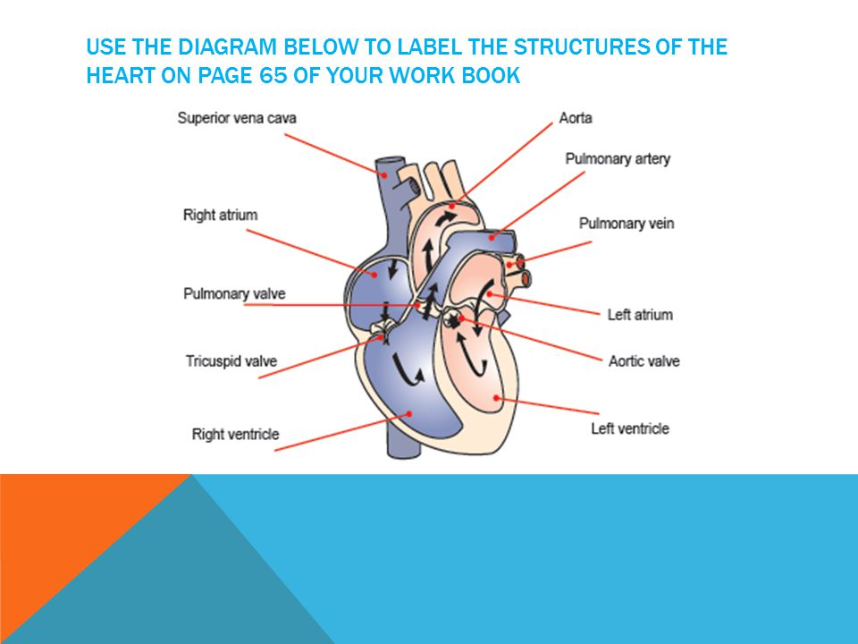 Use the diagram below to label the structures of the heart on page 65 of your work book