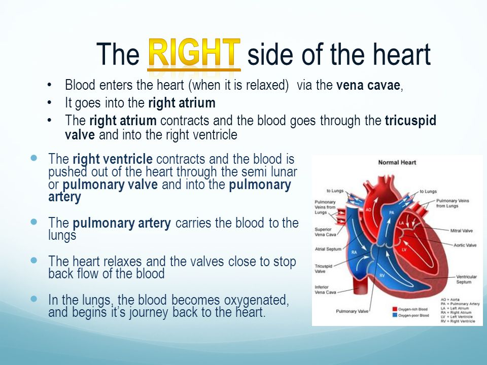 The right side of the heart