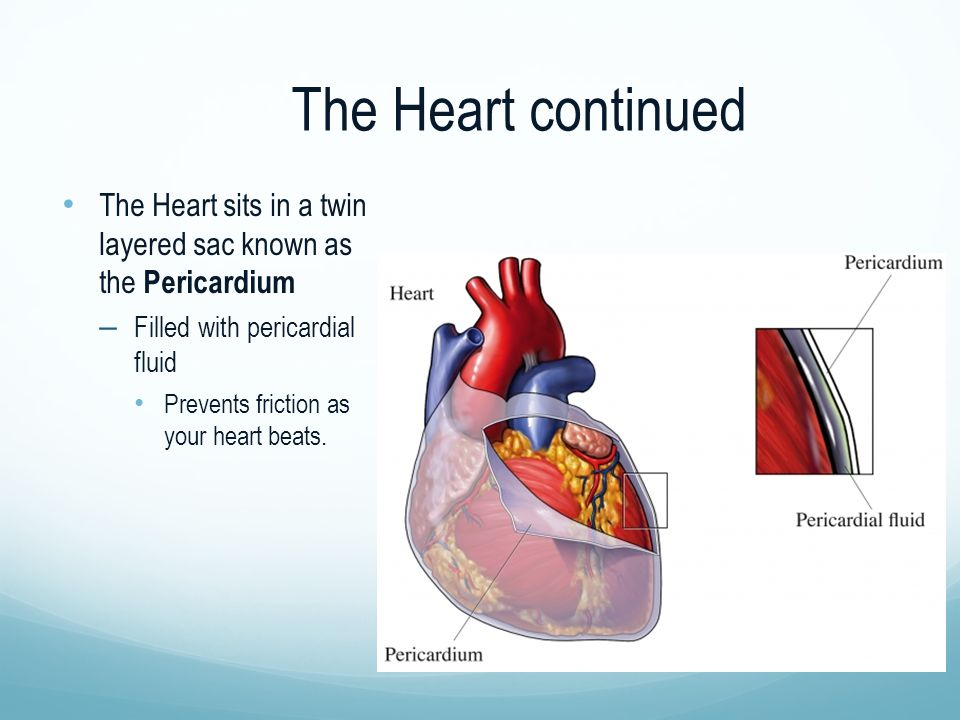The Heart continued The Heart sits in a twin layered sac known as the Pericardium. Filled with pericardial fluid.