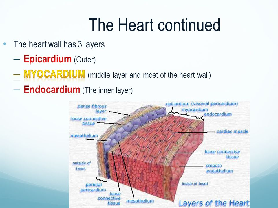 The Heart continued Epicardium (Outer)