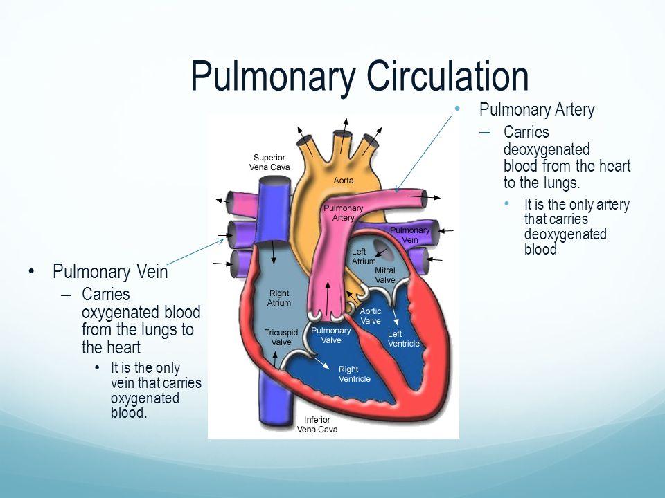 Pulmonary Circulation