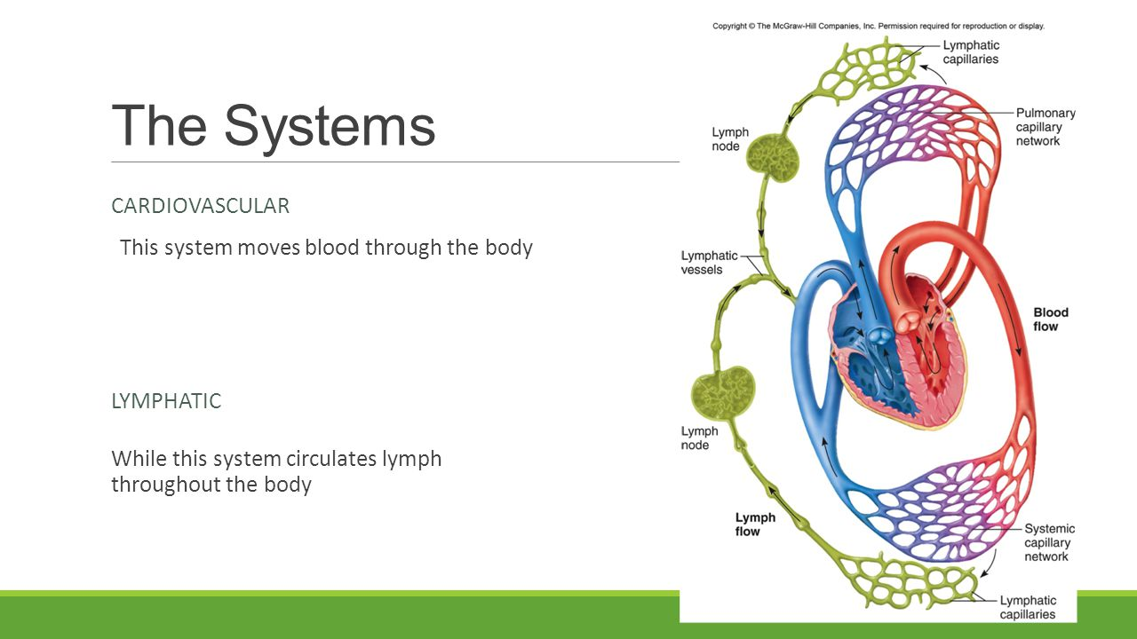 The Systems Cardiovascular This system moves blood through the body