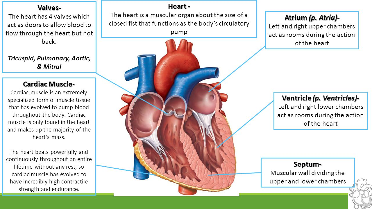 Tricuspid, Pulmonary, Aortic, & Mitral Ventricle (p. Ventricles)-