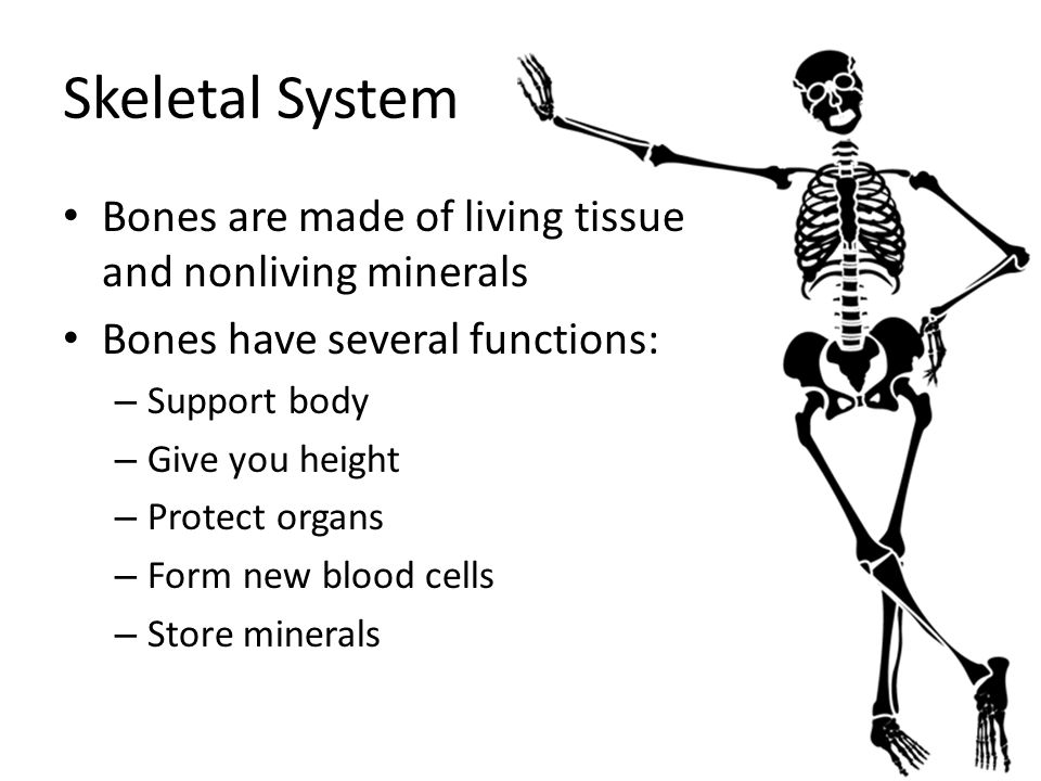 Skeletal System Bones are made of living tissue and nonliving minerals