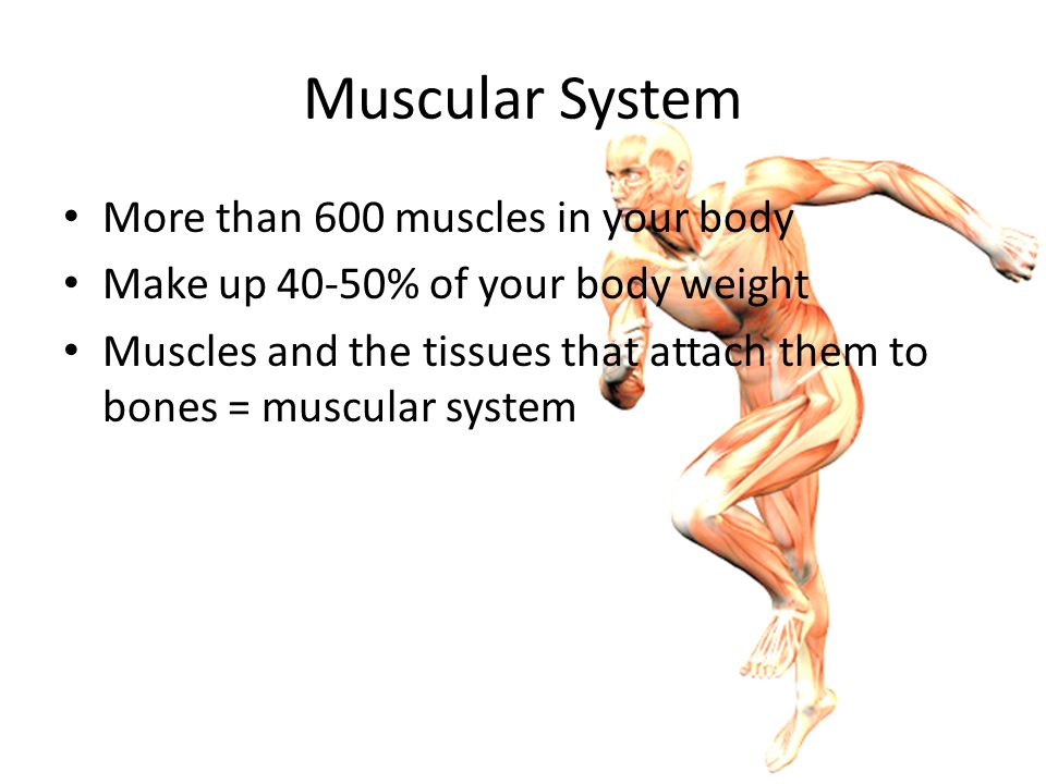 Muscular System More than 600 muscles in your body
