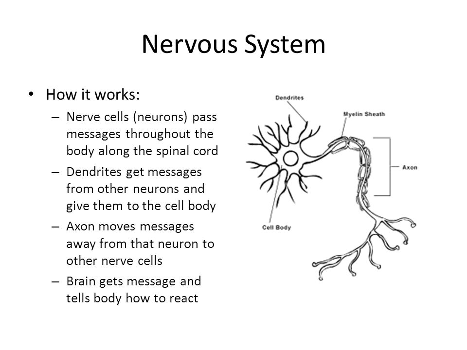 Nervous System How it works: