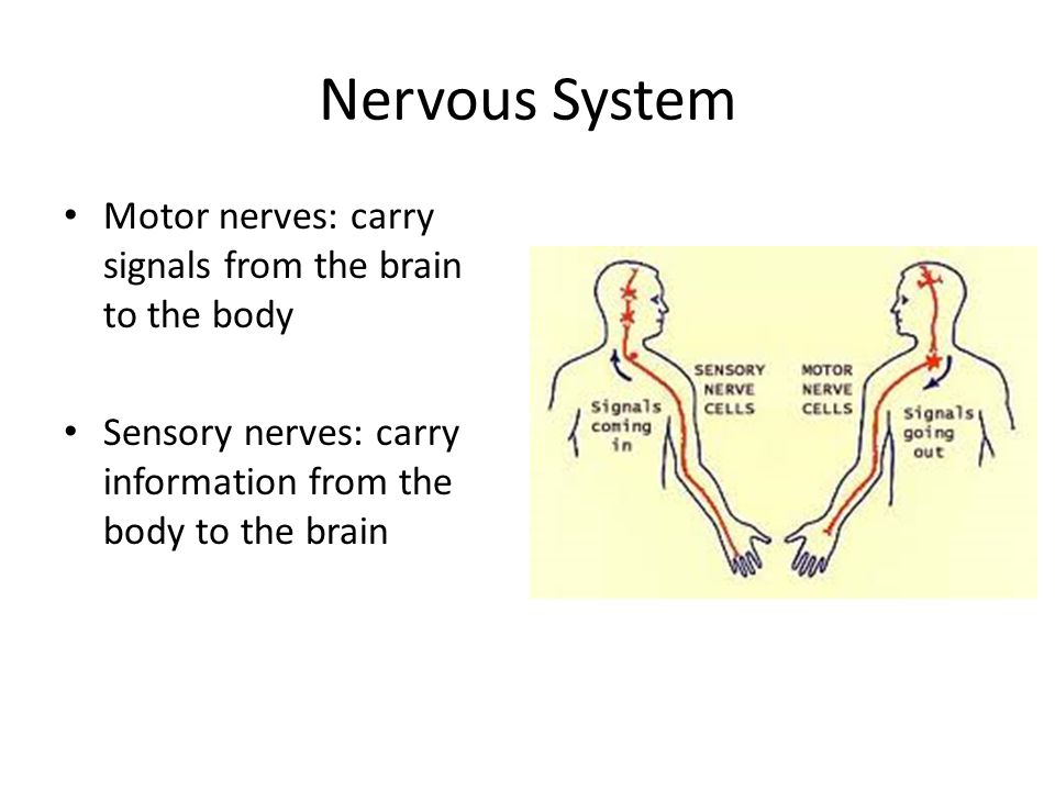 Nervous System Motor nerves: carry signals from the brain to the body