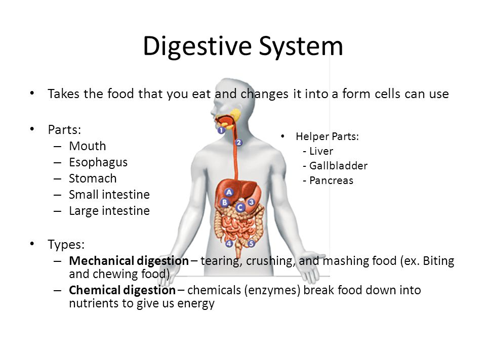 Digestive System Takes the food that you eat and changes it into a form cells can use. Parts: Mouth.