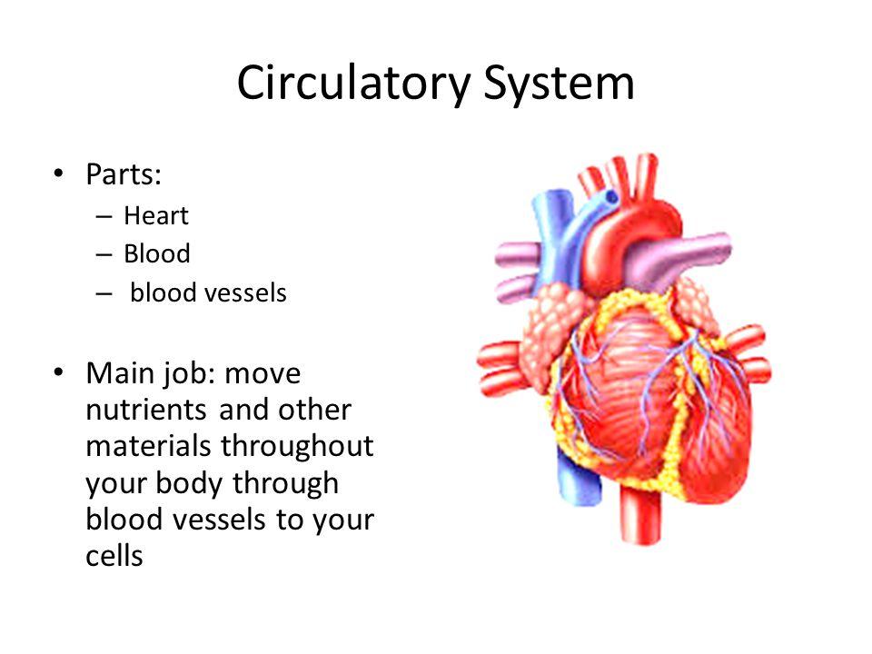 Circulatory System Parts: