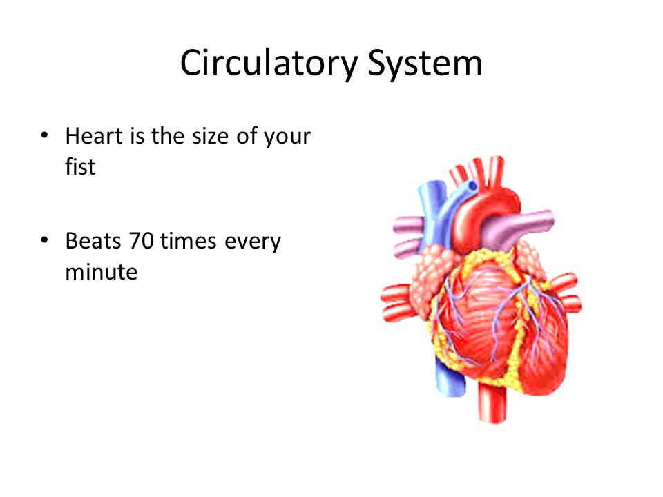 Circulatory System Heart is the size of your fist