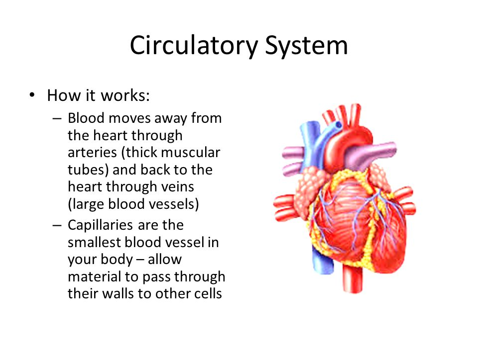 Circulatory System How it works: