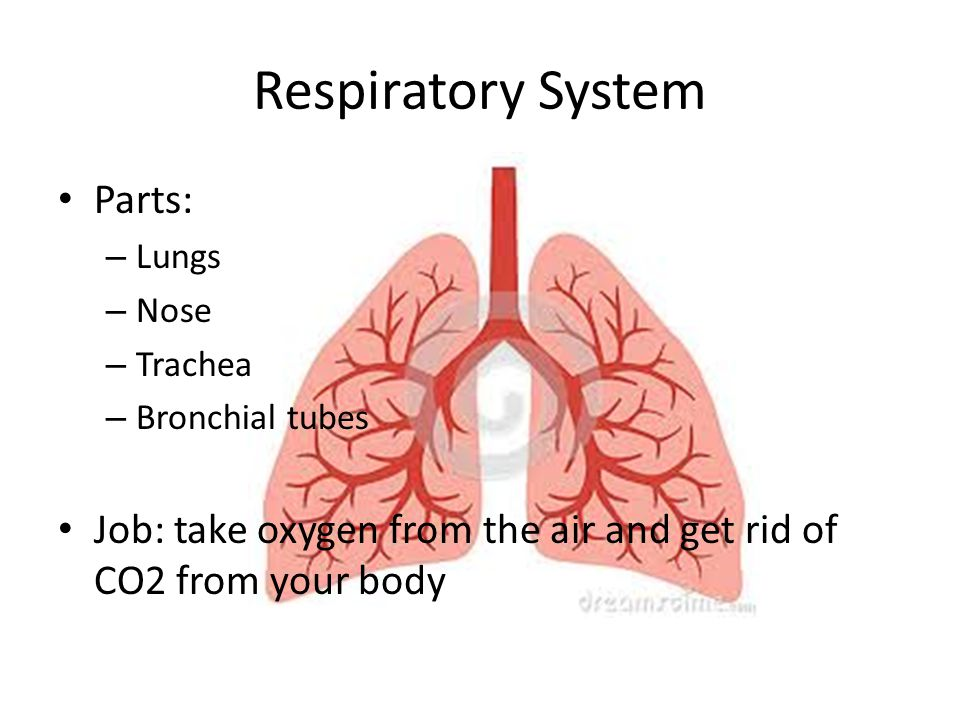 Respiratory System Parts: