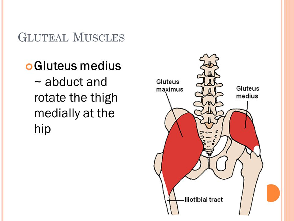 Gluteus medius ~ abduct and rotate the thigh medially at the hip