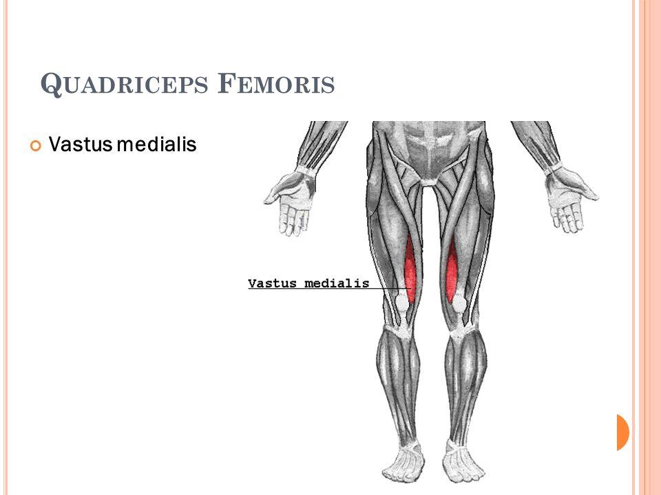 Quadriceps Femoris Vastus medialis