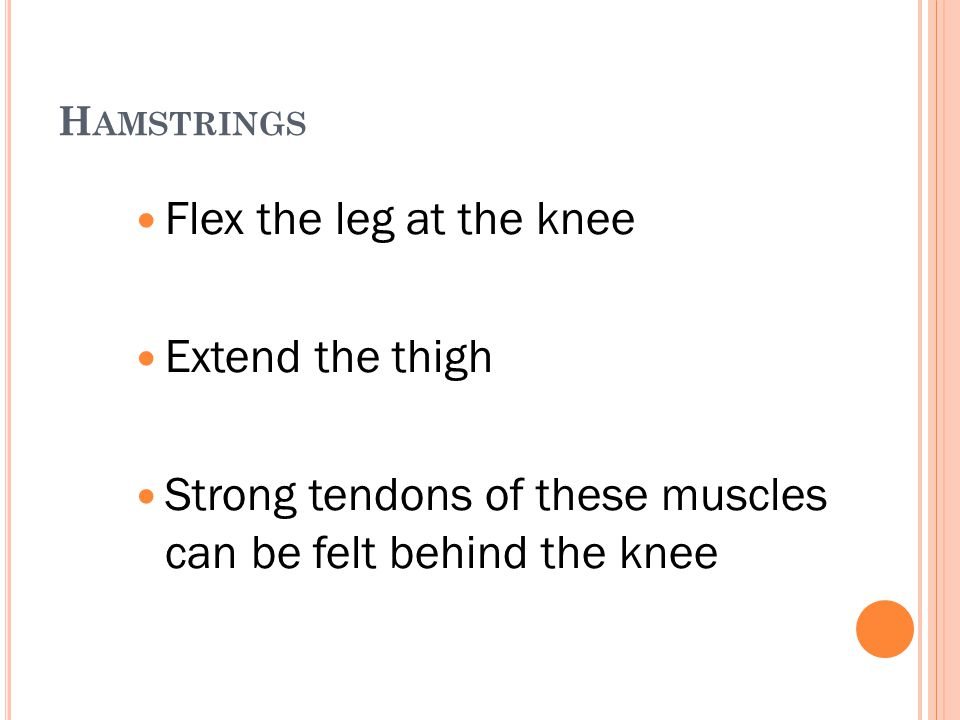 Strong tendons of these muscles can be felt behind the knee