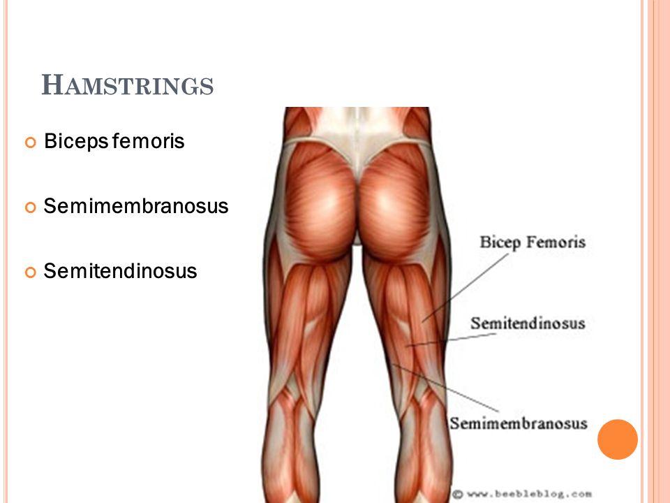 Hamstrings Biceps femoris Semimembranosus Semitendinosus