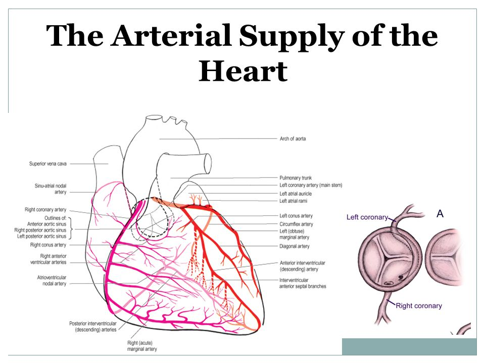 The Arterial Supply of the Heart