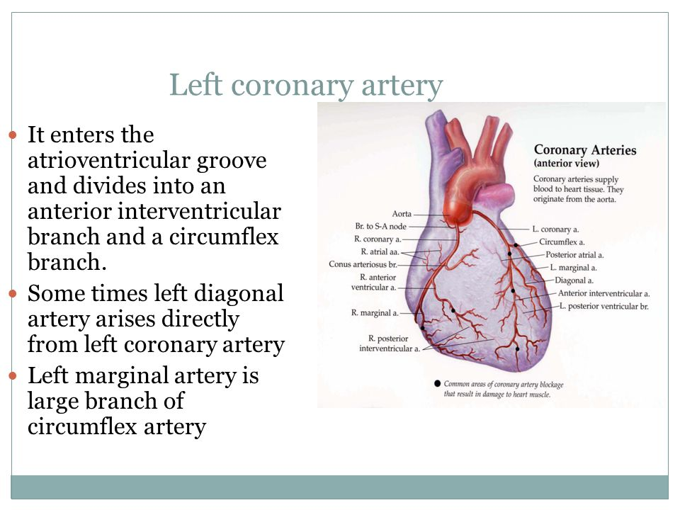 Left coronary artery It enters the atrioventricular groove and divides into an anterior interventricular branch and a circumflex branch.