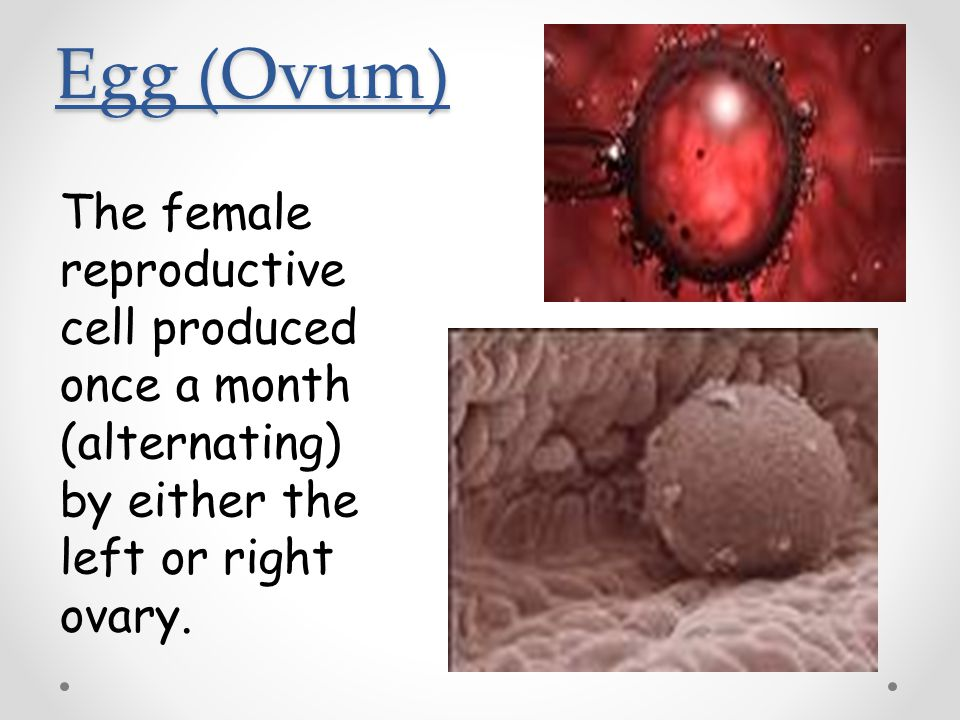 Egg (Ovum) The female reproductive cell produced once a month (alternating) by either the left or right ovary.