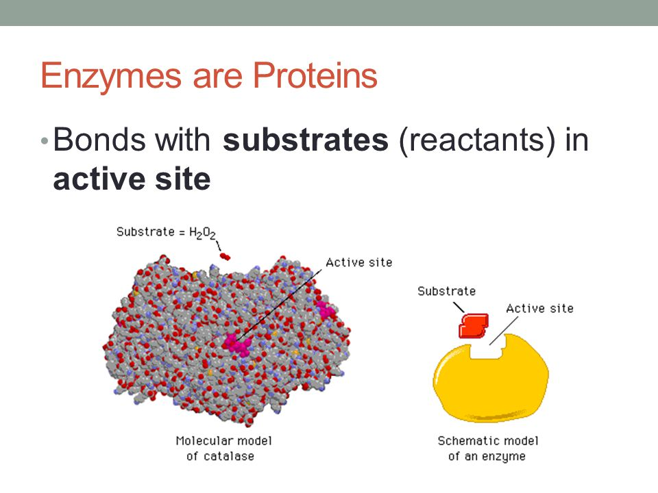 Enzymes are Proteins Bonds with substrates (reactants) in active site