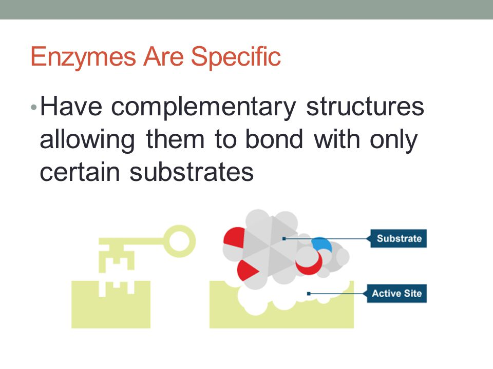 Enzymes Are Specific Have complementary structures allowing them to bond with only certain substrates.